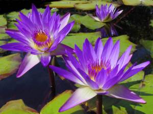 tropical_water_lilies